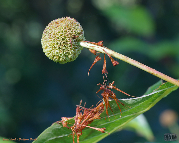 SMP-0209_Seed_Pod-Button_Bush by StevePettit