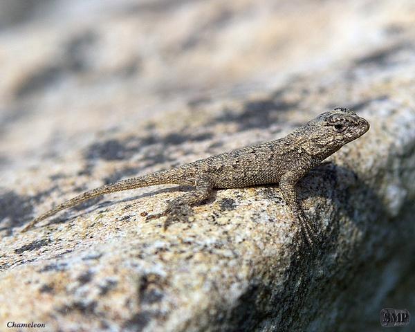 SMP-0211_Chameleon by StevePettit