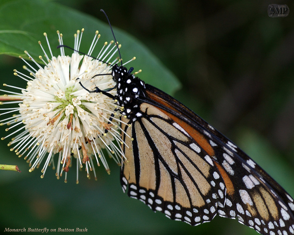 SMP-0219_Monarch_Butterfly_on_Button_Bush - Copy by StevePettit