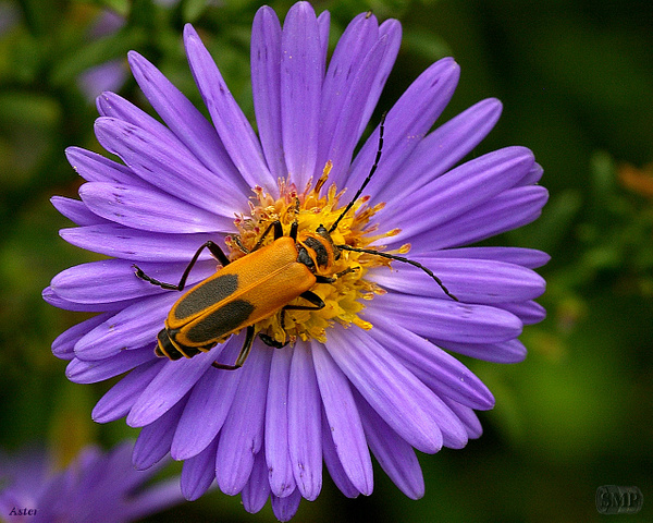 SMP-0225_Aster by StevePettit