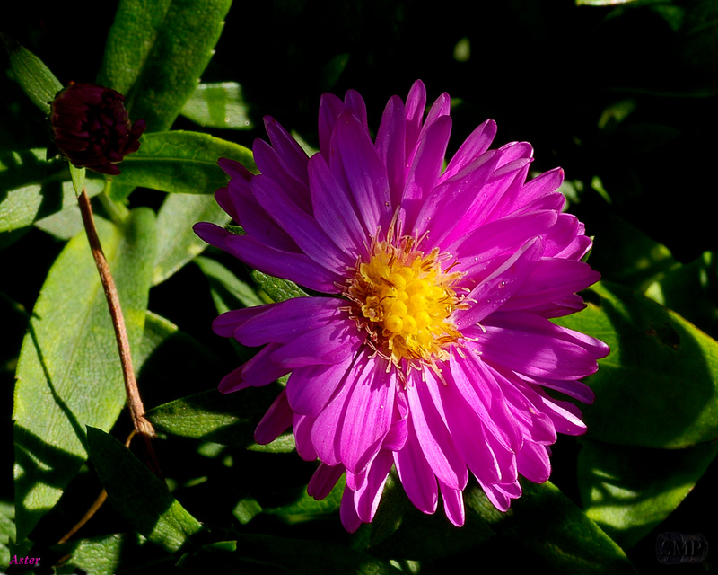 SMP-0314_Aster