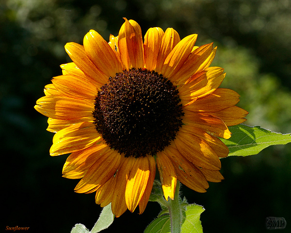 SMP-0295_Sunflower by StevePettit