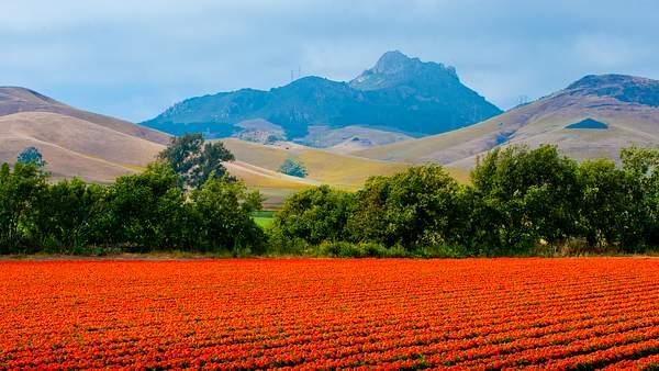 An eye-popping poppy field