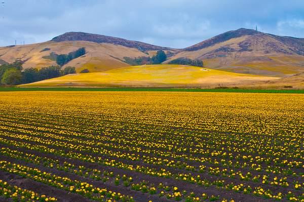 Poppy field 222