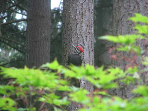 Pileated Woodpecker 222