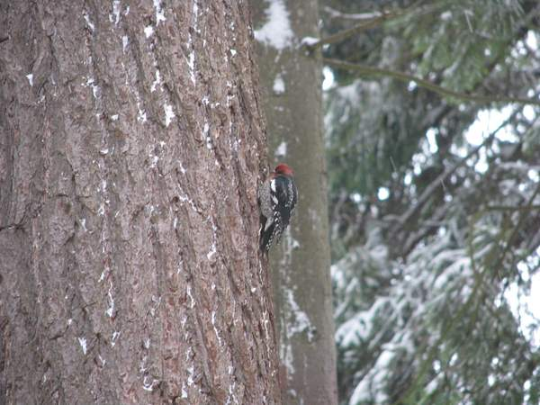 Red-breasted Sapsucker 222