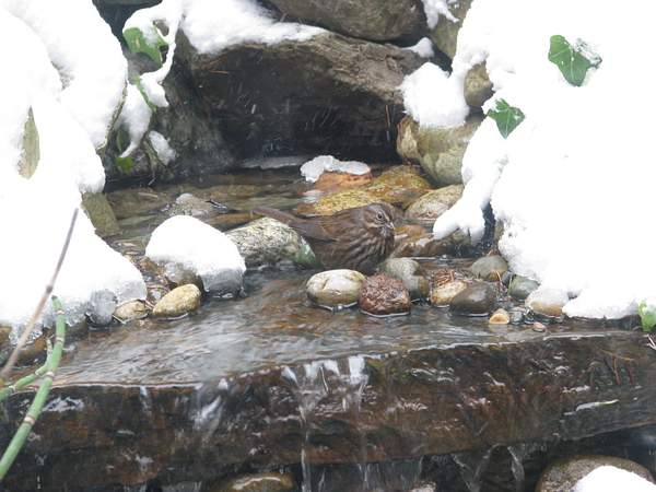 Song Sparrow in our Fountain 222