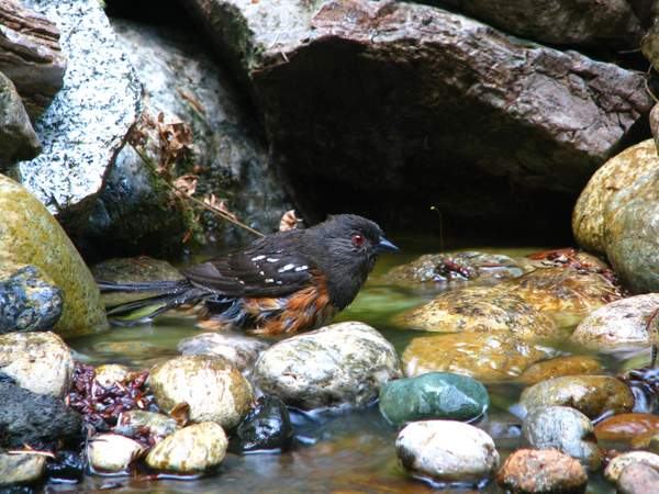 Towhee in Our Fountain 222