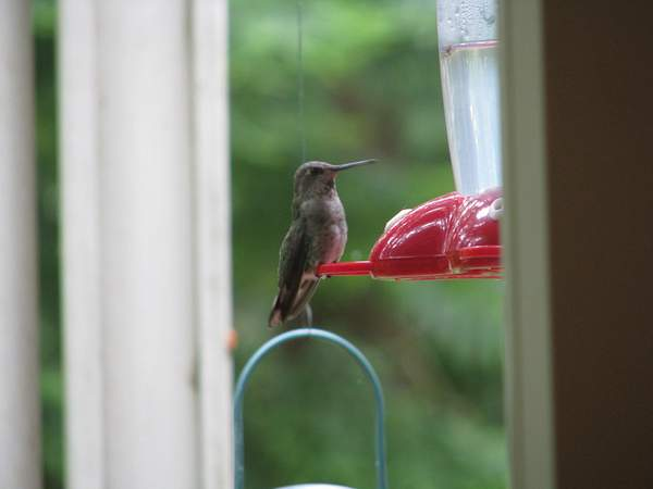 Anna's Hummingbird at our front feeder 222