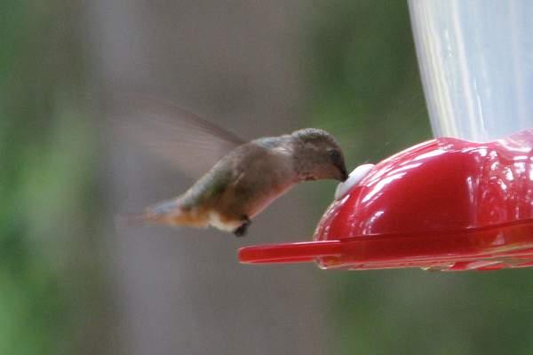 Anna's Hummingbird Feeding 222