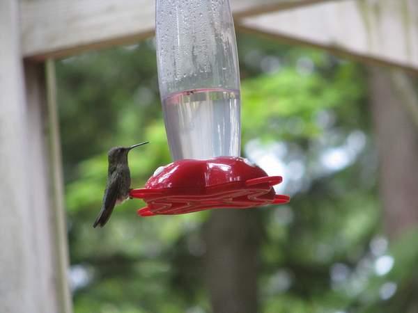 Anna's Hummingbird 222