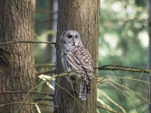 Barred Owl 222