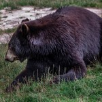 2017 Oswald's Bear Ranch North of Newberry, MI. in The Upper Peninsula of Michigan