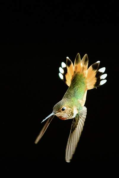 Female Allens Hummingbird  Diving