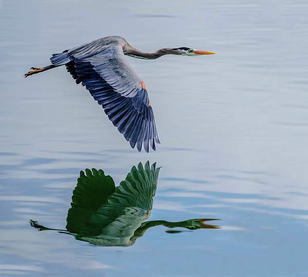 Flying Heron Reflected