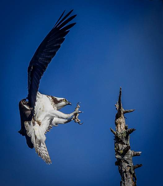 Osprey Coming In for a Landing (1 of 1)