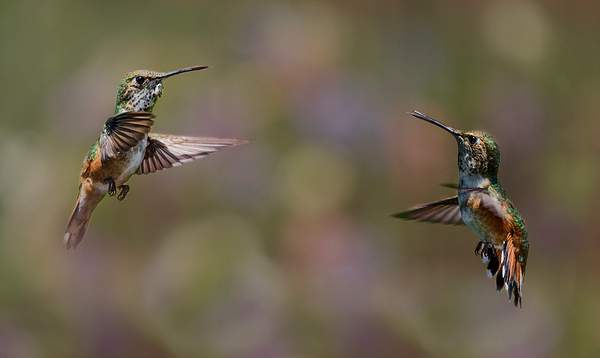 Rufous Hummers Having a Conversation