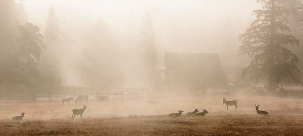Goats and Horses In Morning Mist 222