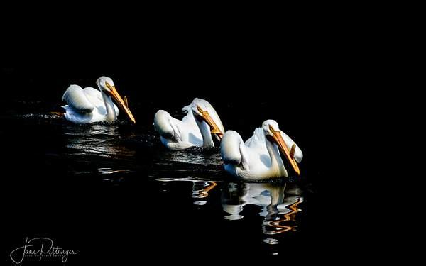 Three White Pelicans Swimming In Breeding Plumage