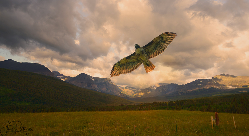 Red Tailed Hawk Fly Over v 2