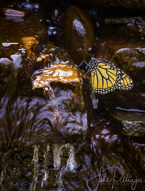 Monarch Getting a Drink