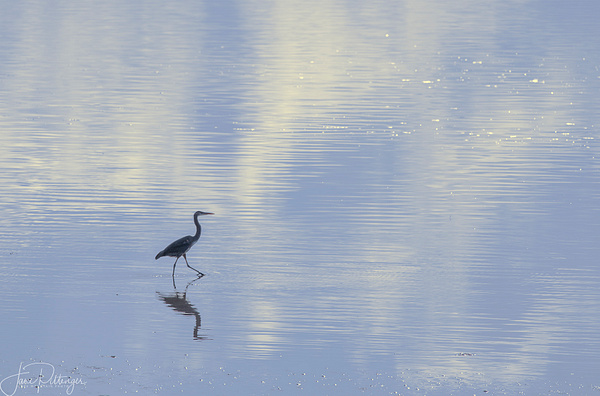 Heron On A Stroll by jgpittenger