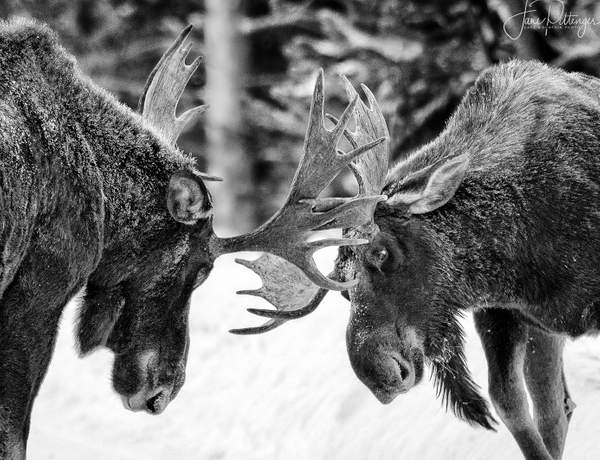 Adolescent Moose Practicing B and W