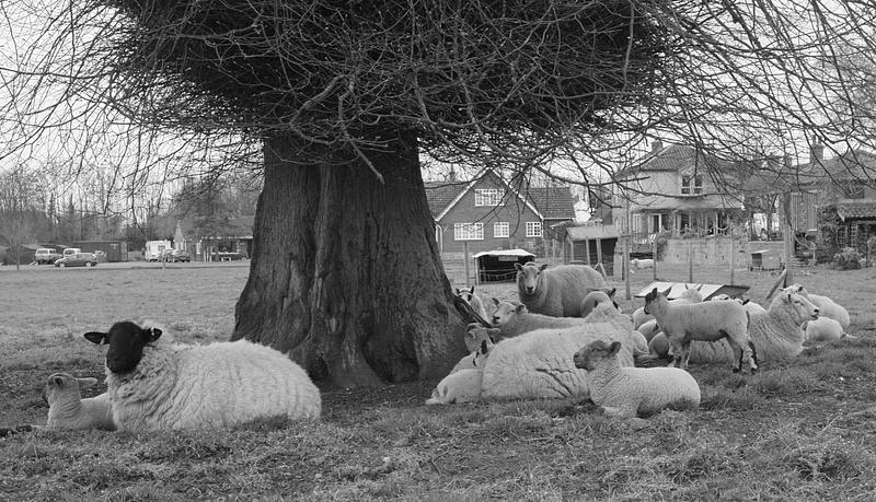 The Lammas Lambs.