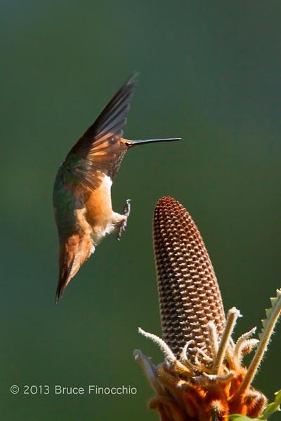 UCSC Arboretum Hummingbirds by BruceFinocchio