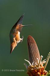 UCSC Arboretum Hummingbirds