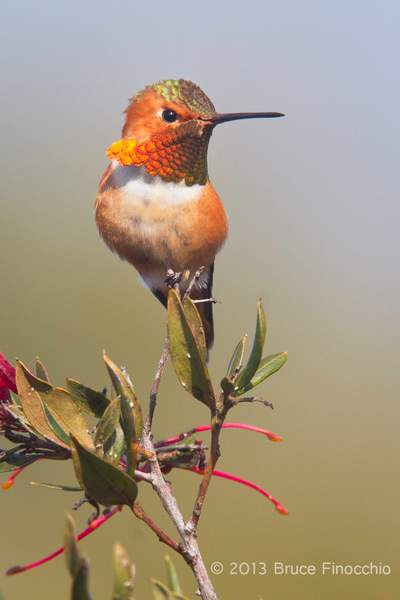 Majestic Male Allen's Hummingbird