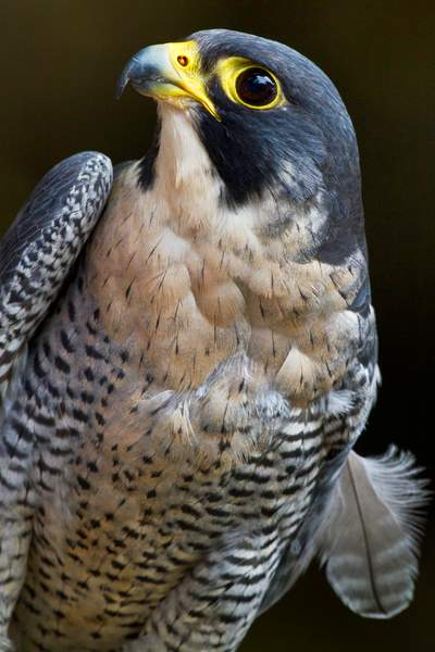 Peregrine Falcon, One Wing One Feather