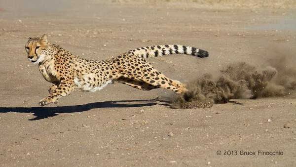 Male Cheetah At Full Run