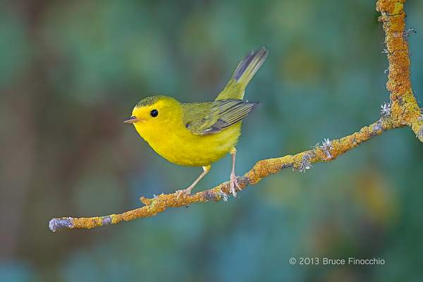 Female Wilson's Warbler Perched On A Orange Lichen Branch