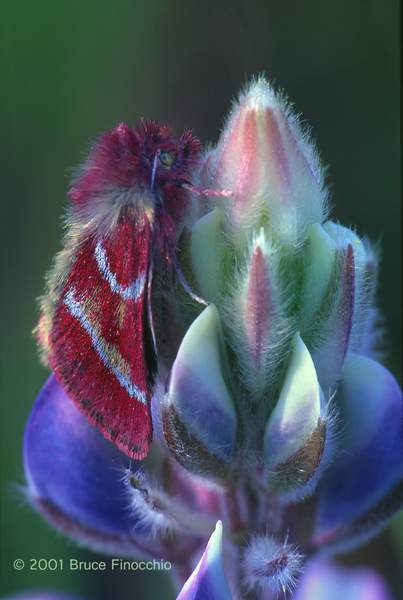 California Tent Moth Rests & Overnights on a Lupine Blossom v1c