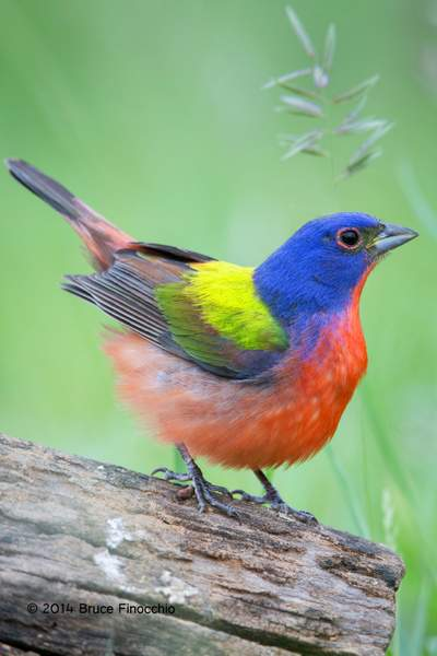 Male Painted Bunting Puffs Feathers Up To Discourage Rivals