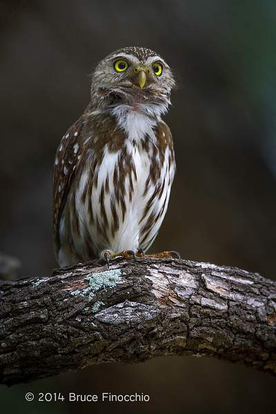 Male Ferruginous Pygmy Owl Stretches Throat and Neck Feathers As He Hoots
