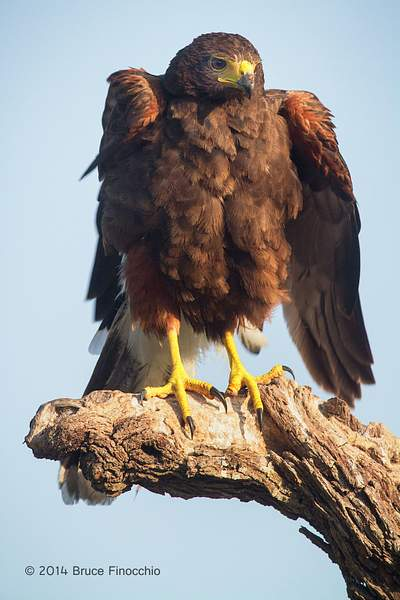 Harris Hawk Ruffles Feathers