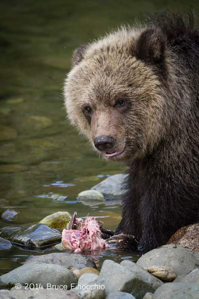 Young Grizzly Cub Looks Up After Feeding On Salmon Carcass