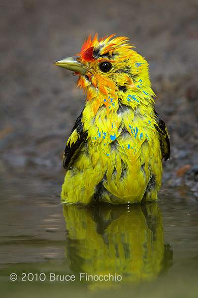 Male Western Tanager Wets Feathers During A Bath