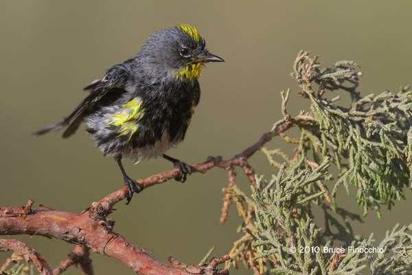 Wet Male Yellow-rumped Warbler Shakes While On A Juniper Branch BA69191D7c