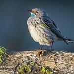 Birds of Southern Oregon
