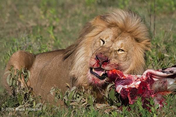 Male Lion Tears Into A Zebra Carcass 222