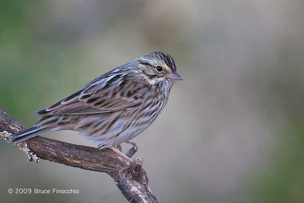 Savannah Sparrow On Perch 222