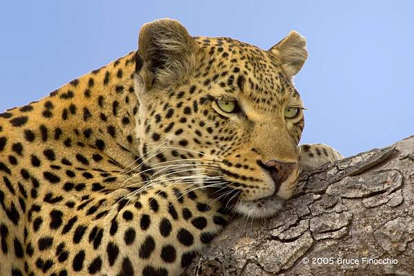 Maxabene Resting on a Tree Limb 222