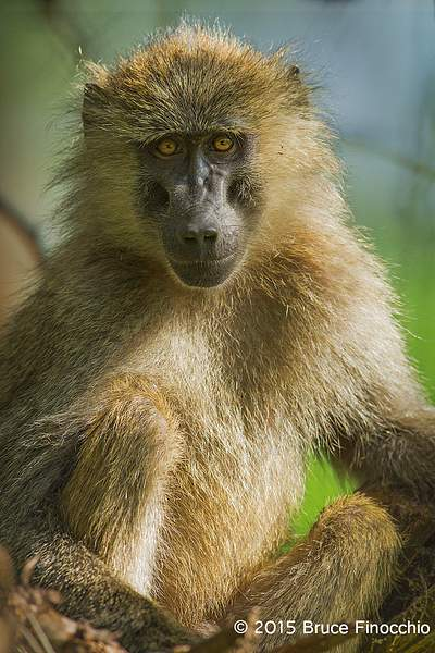 Young Baboon Stares Back 222
