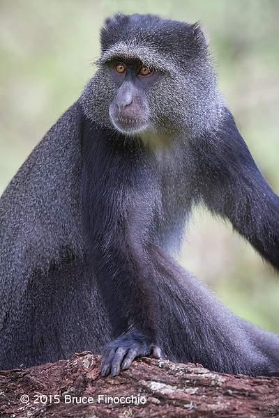 Female Blue Monkey Poses 222