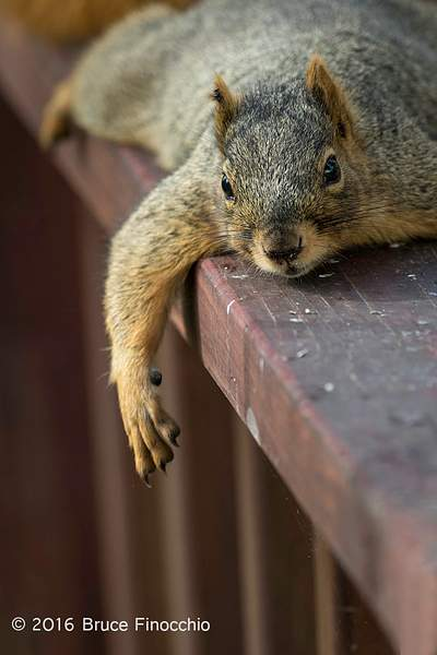 Lounging Red Tree Squirrel With A Full Belly 222