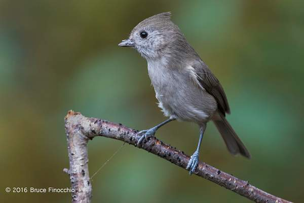 Oak Titmouse With Partial Seed Covering On Beak 222