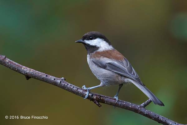 Perfectly Posed Chestnut-backed Chickadee 222